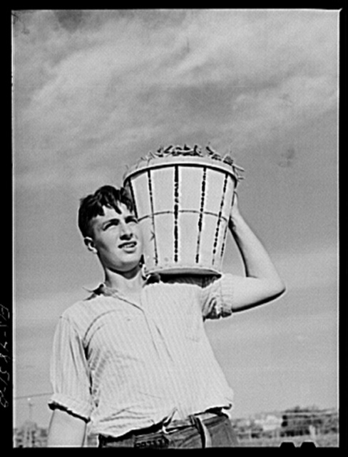 Bridgeton, New Jersey. Seabrook Farms. Field worker with a basket of snap beans