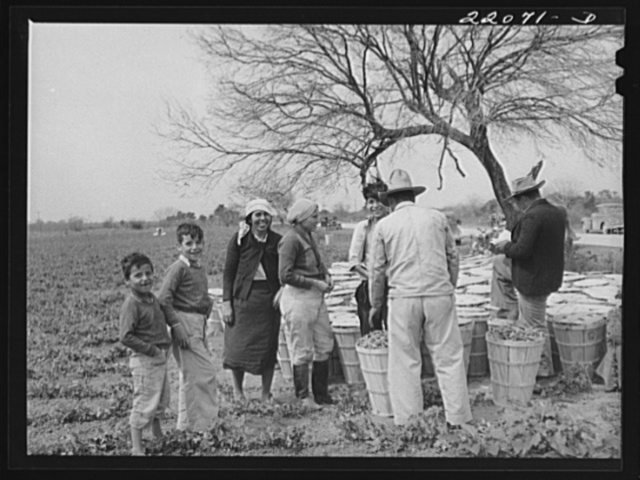Brownsville, Texas (vicinity). Bean harvesters on large farm