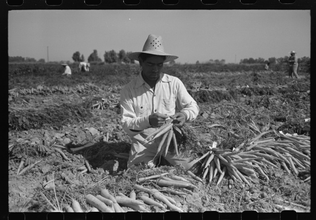Bunching carrots. Imperial County, California
