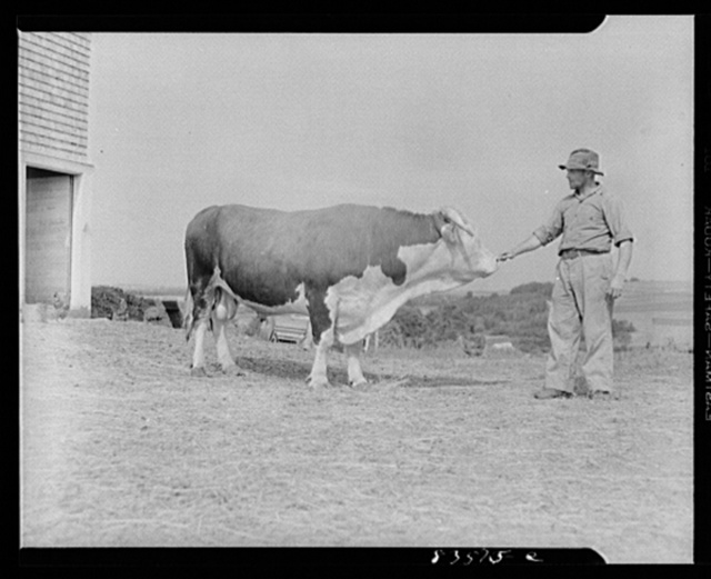 Caribou, Maine (vicinity). Cunningham farm belonging to a FSA (Farm Security Administration) client. Henry Cunningham, a FSA (Farm Security Administration) borrower, and his prize bull