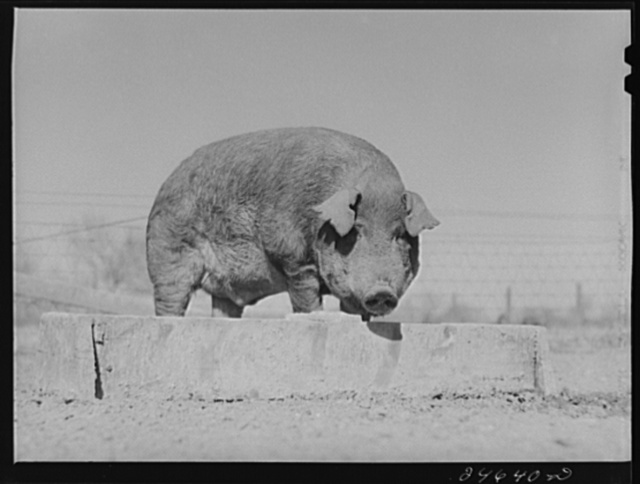 College Station, Texas. Texas Agricultural and Mechanical College. Boar