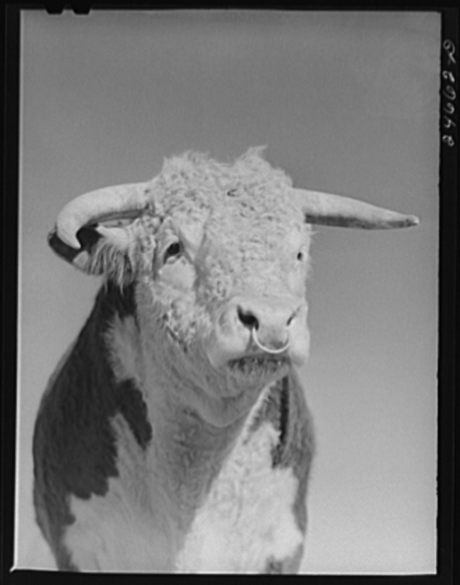 College Station, Texas. Texas Agricultural and Mechanical College. Bull
