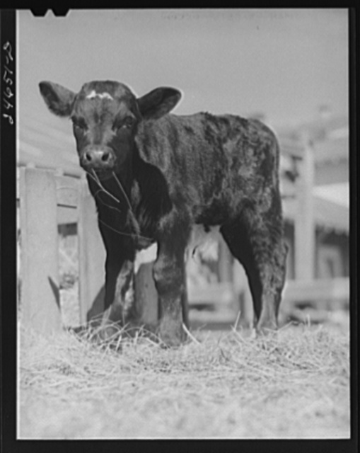 College Station, Texas. Texas Agricultural and Mechanical College. Calf