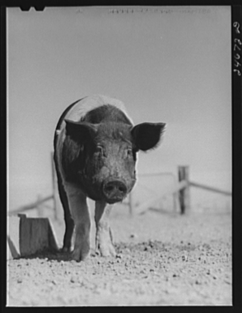 College Station, Texas. Texas Agricultural and Mechanical College. Pig