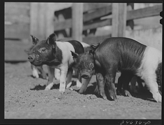 College Station, Texas. Texas Agricultural and Mechanical College. Pigs