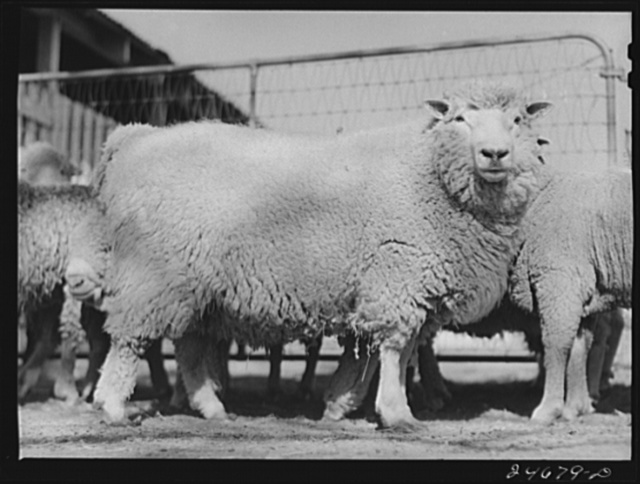 College Station, Texas. Texas Agricultural and Mechanical College. Sheep