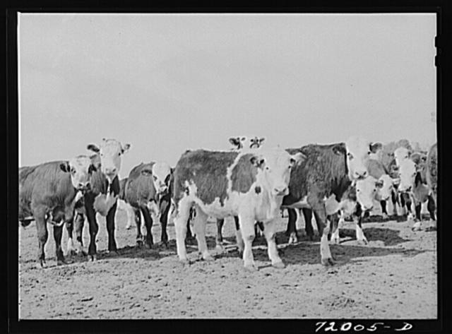 Coolidge, Pinal County, Arizona. Casa Grande Farms, FSA (Farm Security Administration) project. Beef steers feeding