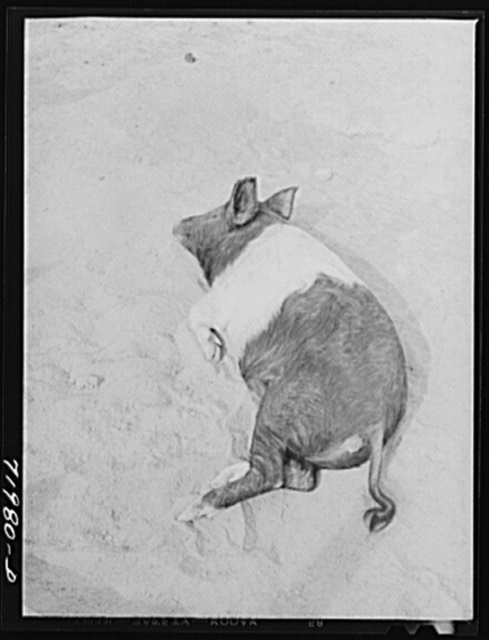 Coolidge, Pinal County, Arizona. Casa Grande Farms, FSA (Farm Security Administration) project. Pig