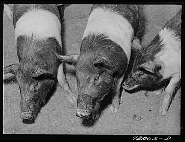 Coolidge, Pinal County, Arizona. Casa Grande Farms, FSA (Farm Security Administration) project. Pigs