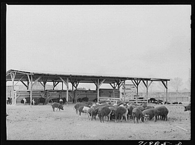 Coolidge, Pinal County, Arizona. Casa Grande Farms, FSA (Farm Security Administration) project. Hogs