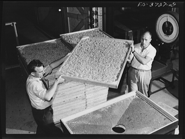 Emptying dehydrated cabbage into hopper. Western regional agricultural research laboratory, Albany, California
