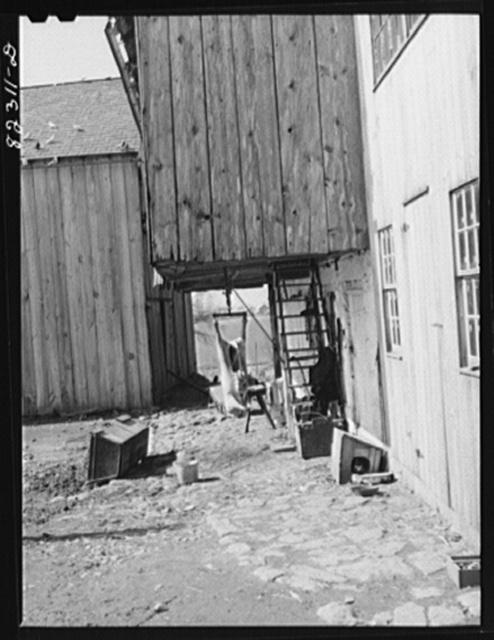 Ephrata, Pennsylvania (vicinity). Butchering pork on a Mennonite farm