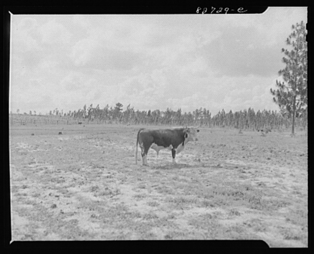 Escambia Farms, Florida. Bull purchased by eighteen farmers through the cooperative