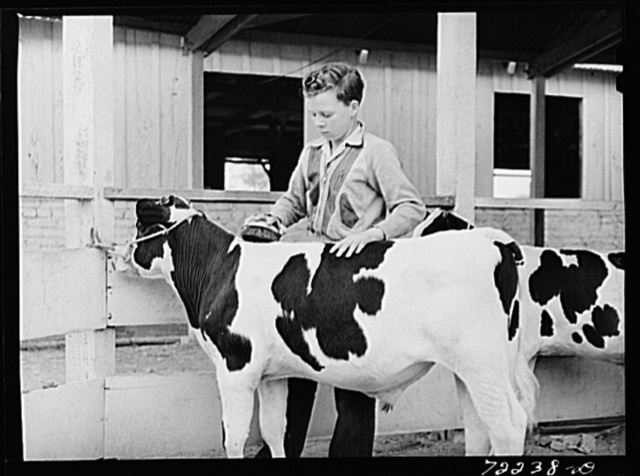 Future farmer grooms his young bull which he is showing at the Imperial County Fair, California