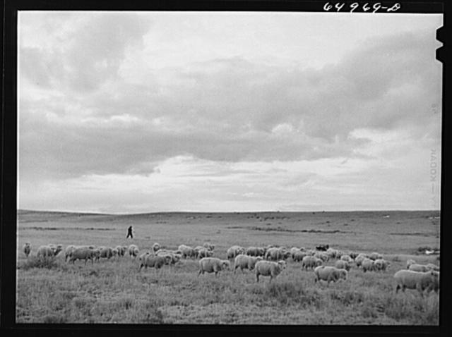 Garfield County, Montana. Sheep and herder