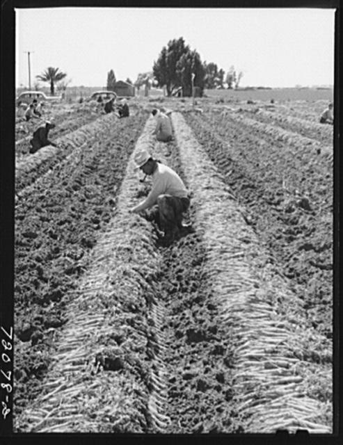 Gathering and bunching carrots. Yuma County, Arizona