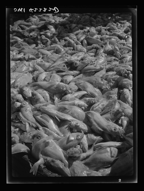 """Gloucester, Massachusetts. Decks are covered with tons of rosefish as the """"Old Glory"""" reaches its capacity load. After two and one half days of fishing, a catch of 85,000 pounds has been hauled in"""