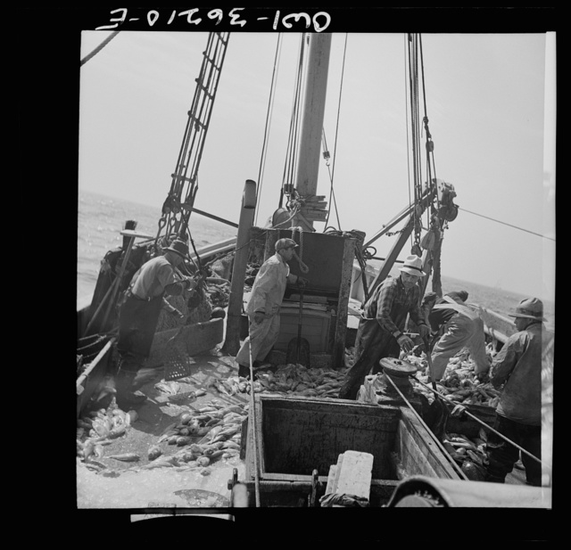 Gloucester, Massachusetts. Stiking good fishing grounds, fishermen load their boat with rosefish. Only a thin slice from each side of the rosefish is useable as food. Fish meal and fish oil are made from the remaining parts