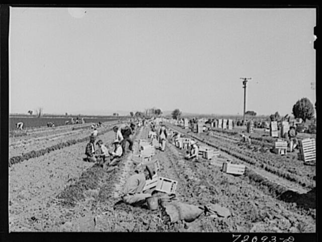 Grading and bunching carrots in the field. Yuma County, Arizona