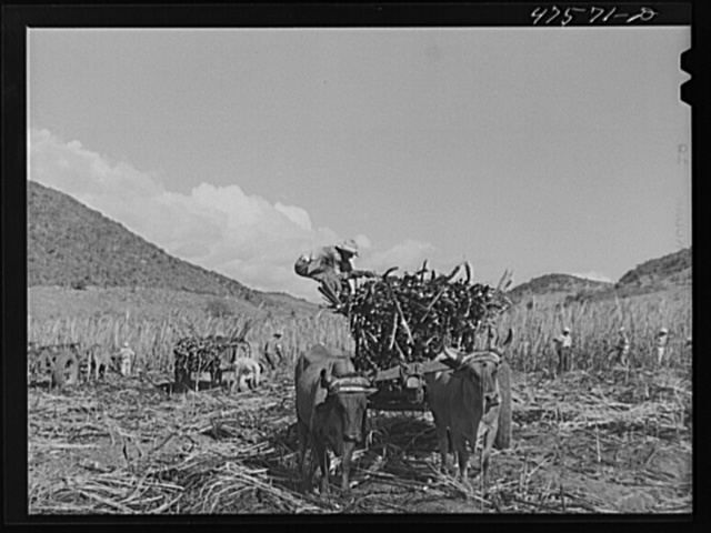 Guanica, Puerto Rico (vicinity). Each ox cart load of sugar cane is bound firmly with chains so it can be lifted out and loaded into a freight car