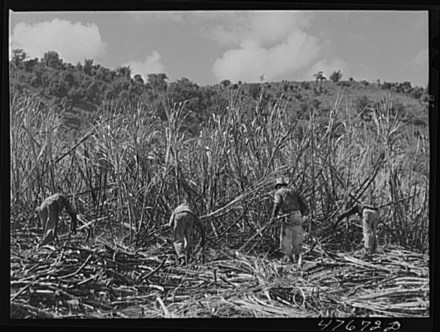 Guanica, Puerto Rico (vicinity). Harvesting cane in a burned field. Burning the fields destroys the dense leaves and makes cutting the unharmed stalks easier