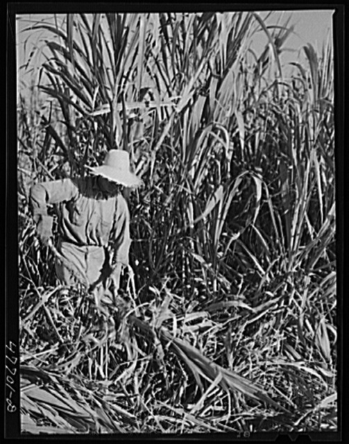 Guanica, Puerto Rico (vicinity). Harvesting sugar cane in a field. The cattle in the background have been let loose to feed on the leaves