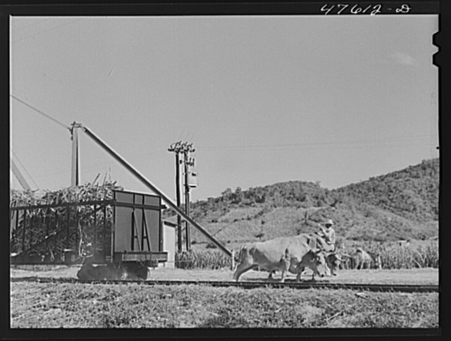 Guanica, Puerto Rico (vicinity). Oxen are used to move freight cars for short distances