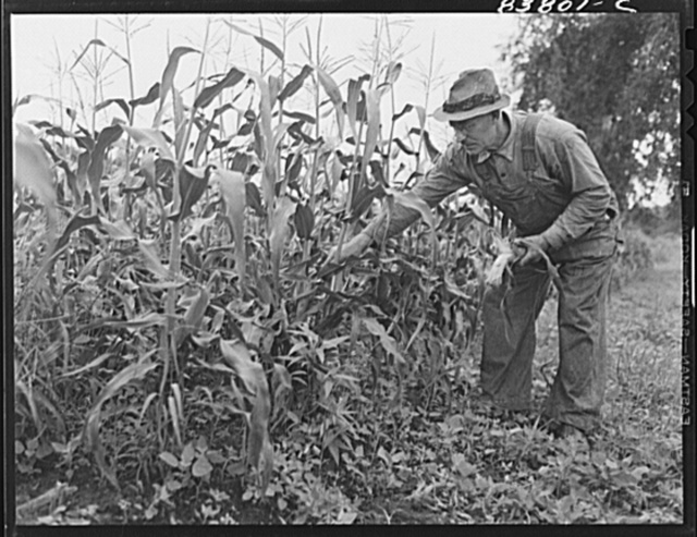Hartford, Connecticut (vicinity). Captain Boris Komorosky in his cornfield