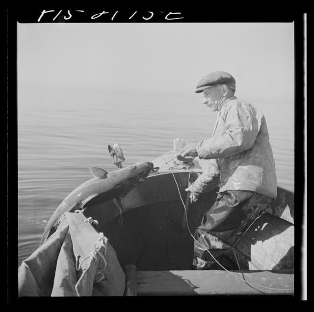 Hauling in a cod aboard a Portugese fishing dory off Cape Cod, Massachusetts