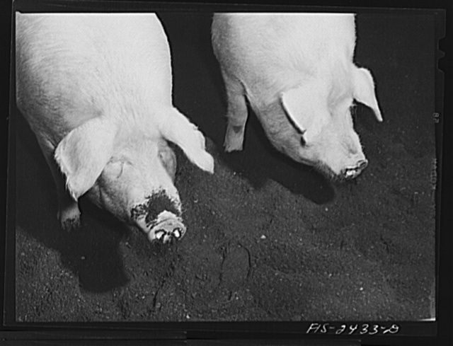 Hogs in judging pavillion at a class in animal husbandry. Iowa State College. Ames, Iowa