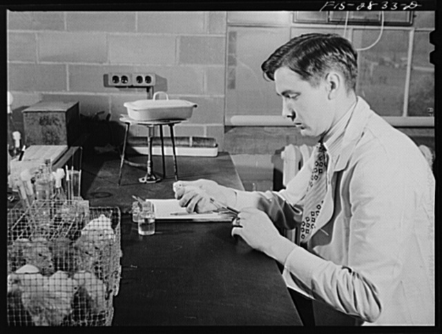 Inoculating chicks with fowl typhoid serum at the genetics laboratory at Iowa State College. Ames, Iowa