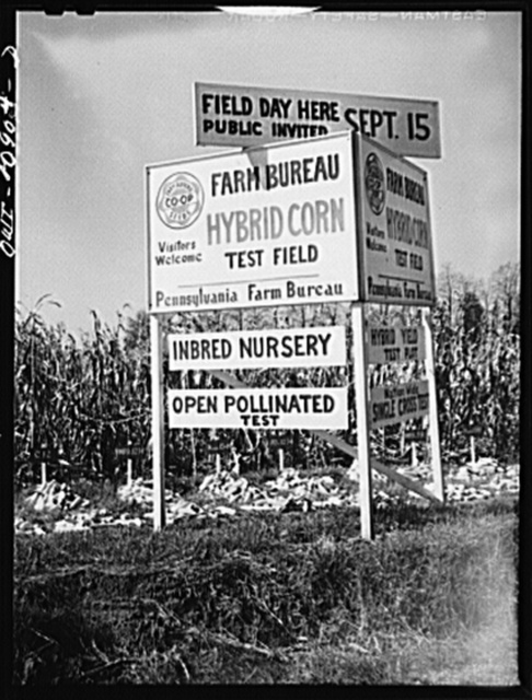 Lancaster County, Pennsylvania. Farm bureau hybrid corn test field on the road between Lancaster and Manheim, Pennsylvania