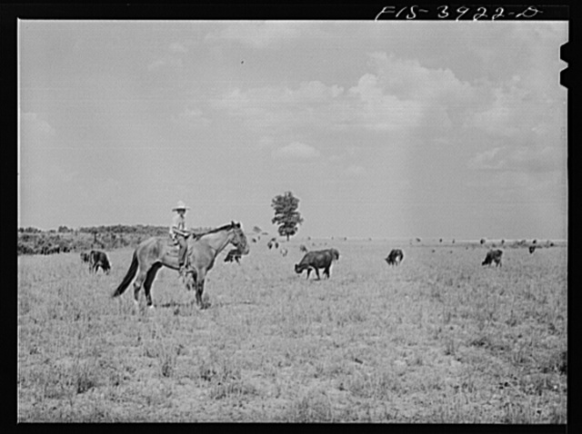 Lauderdale County, Alabama. Tennessee Valley Authority (TVA). Cattle on Julien H. Case's farm