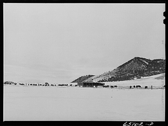 Lewis and Clark County, Montana. Winter feedlot on a ranch