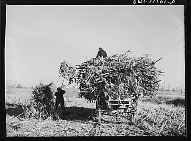 Lititz, Pennsylvania (vicinity). Loading fodder on a farm