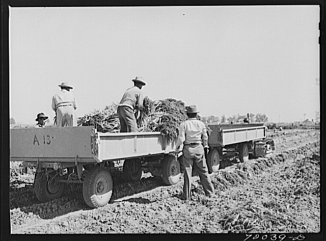 Loading bunched carrots into truck-trailers. Imperial County, California