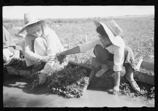 Malheur County, Oregon. Japanese-American girls washing celery sprouts for transplanting