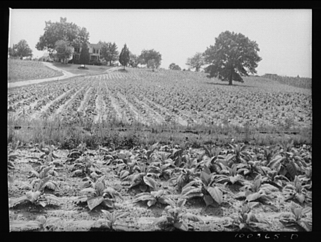 Mechanicsville (vicinity), St. Mary's County, Maryland. Tobacco field on a farm