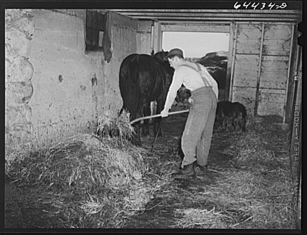 Meeker County, Minnesota. Hired hand on Pat McRaith farm loading manure onto shed