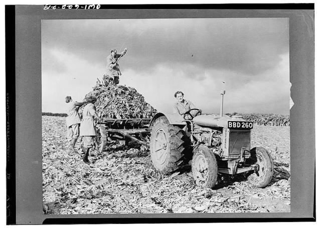 Members of the British Women's Land Army harvesting beets. A woman is driving the Fordson tractor in the foreground, while three others with pitchforks are loading the beets on the truck behind the tractor
