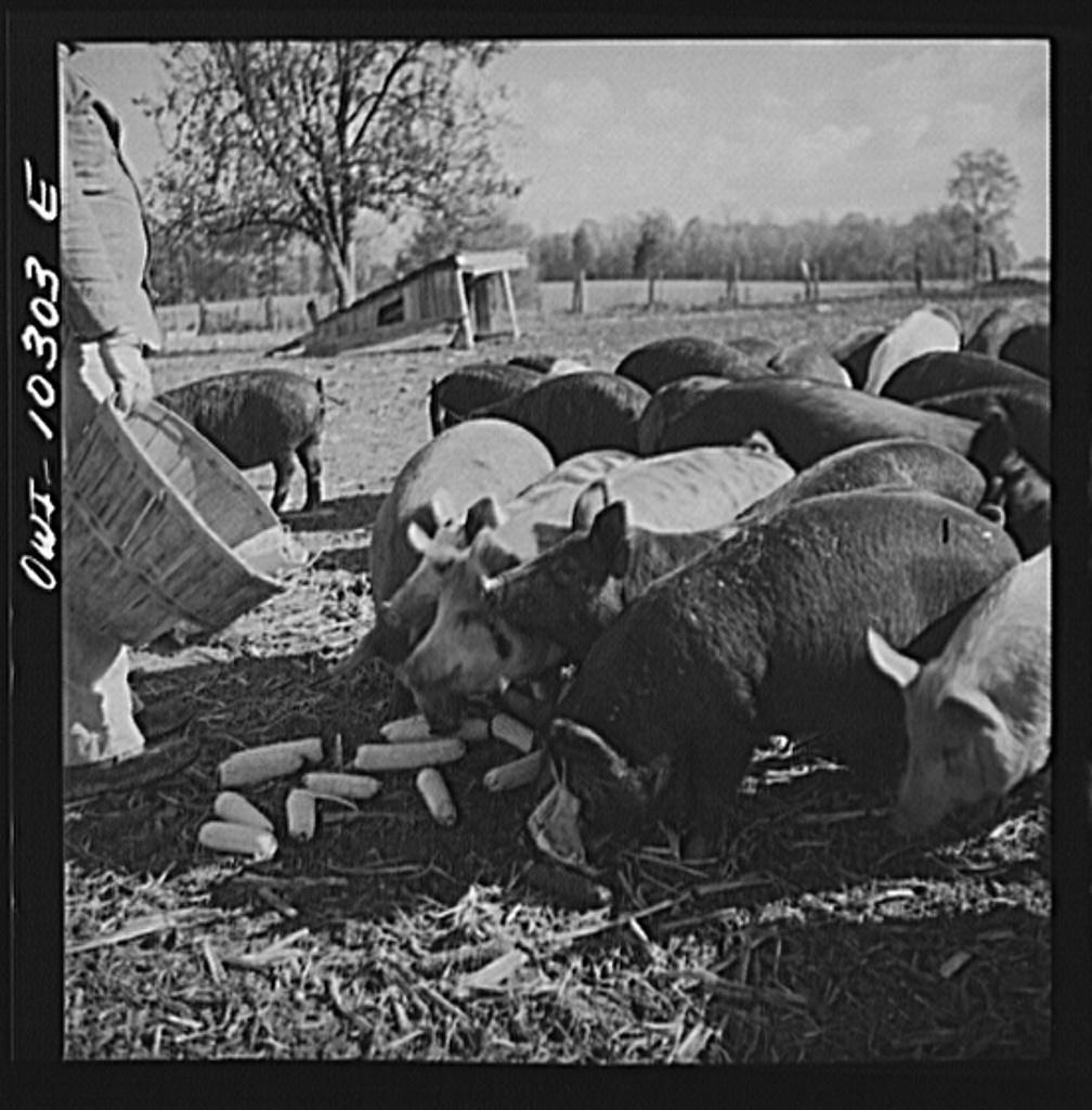 Montgomery County, Maryland. Farmers feeding his pigs