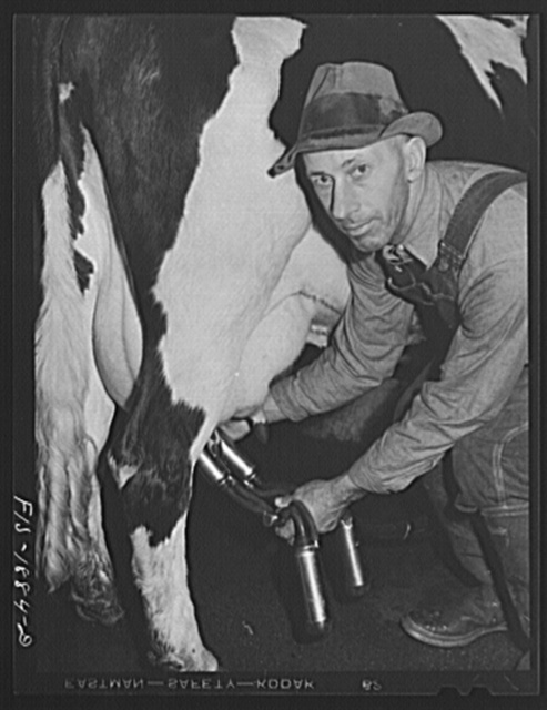 """Mr. John Oiveira, a dairy farmer near San Leandro, California. His parents were born in Portugal but he and his son, Mr. A.J. Oliveira, who is cashier of First National Bank of San Leandro, were born in the United States. The Portuguese people have become important in the dairying business throughout the entire state of California and now control at least seventy percent of the dairy business of the state. Mr. Oliveira milks about seventy cows daily. """"Our favorite stories when I was a child were those which my father and mother told us about their homeland of Portugal. My wife and I have had a good life in the U.S. and we are proud to see our son an honored man of the community. All of us, we are as American as fried chicken now."""""""
