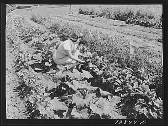 Mrs. Zenith Prothero who lives at the FSA (Farm Security Administration) farm workers community. Gridley, California