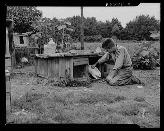 Newport, New Jersey (vicinity). The youngest Hanby boy has charge of the rabbits on his father's farm