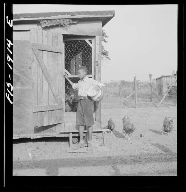 Newport News, Virginia. Negro shipyard worker's son gathering the eggs