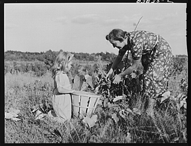 Norwich, Connecticut (vicinity). Swedish farmer and daughter picking grapes on their farm