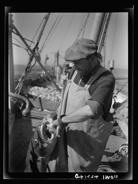 On board a fishing vessel out from Gloucester, Massachusetts. Fisherman with a codfish