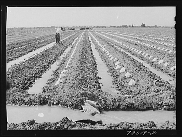 Paper caps protect young melon plants in the irrigated fields in Imperial County, California