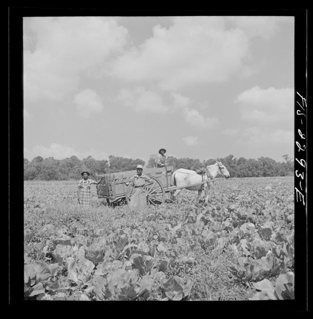 Parris Island, South Carolina. A cabbage field