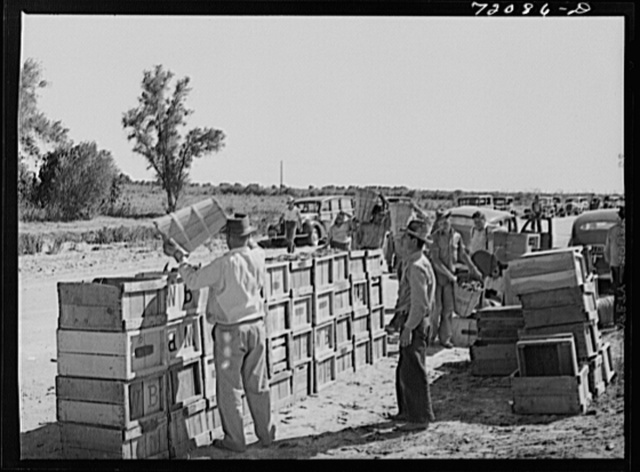 Peas are dumped from hampers to crates for transportation to the packing and grading sheds. Imperial County, California